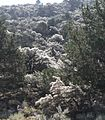 Mountain-mahogany backlit slope.jpg