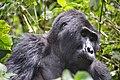 Mountain Gorilla, Bwindi, Uganda (15594100877).jpg