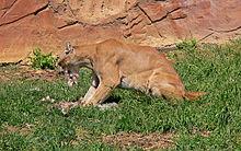 captive cougar feeding cougars are ambush predators feeding mostly