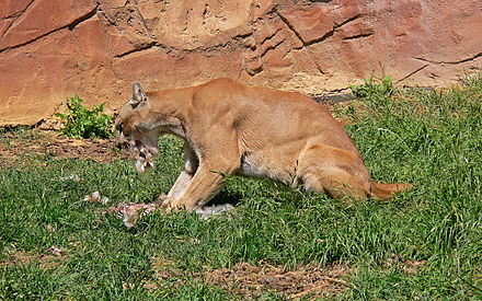 A captive cougar feeding. Cougars are ambush predators, feeding mostly on deer and other mammals. Mountain Lion441.jpg