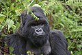 Mountain gorilla (6461821349).jpg
