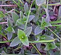 Mouse-ear Chickweed (49194520963).jpg