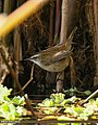 Moustached Warbler (Acrocephalus melanopogon) (33906770030).jpg