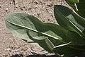Mule ears Wyethia mollis huge fuzzy leaf.jpg