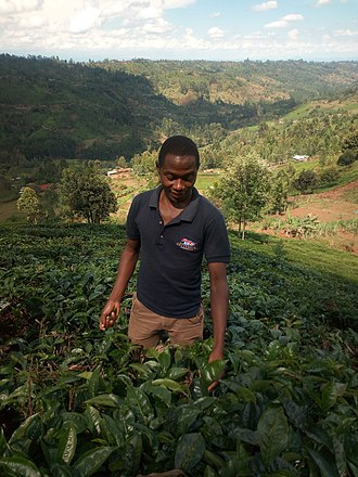 Muranga County - Tea farming in Muranga County.