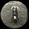 Murray River Curly Coated Retriever 1893.jpg