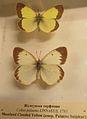 Musée Nabokov Papillons.JPG