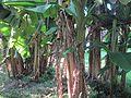 Musa x paradisiaca-Japoniar bananondo 40.jpg