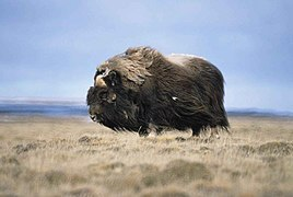 Musk ox bull animal ovibos moschatus.jpg