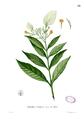 Mussaenda grandiflora Blanc1.58.png