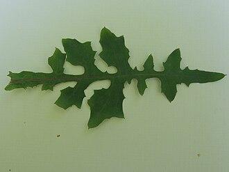 Lactuca muralis - Image: Mycelis muralis a 2