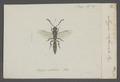 Myzine - Print - Iconographia Zoologica - Special Collections University of Amsterdam - UBAINV0274 043 05 0003.tif
