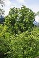 ND 3 75 Linde am Blasiusberg Blasiusberg-Völs 20140508 GOG 9122.jpg