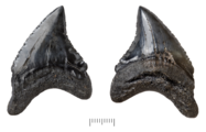Fossil teeth of Alopias palatasi