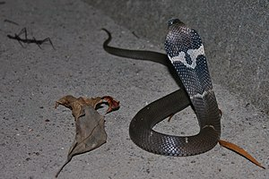 Chinese cobra -  A Chinese cobra with its clearly visible hood mark