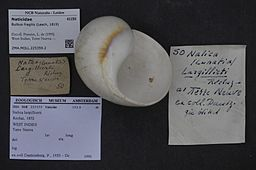 Naturalis Biodiversity Center - ZMA.MOLL.225359.2 - Bulbus fragilis (Leach, 1819) - Naticidae - Mollusc shell.jpeg