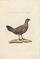 Nederlandsche vogelen (KB) - Gallus gallus (474b).jpg