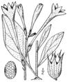 Nicotiana longiflora BB-1913.png