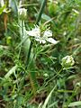 Nigella arvensis sl10.jpg