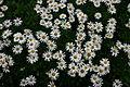 Nipponanthemum nipponicum 001.JPG