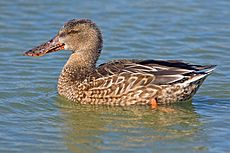 Northern Shoveler (Female).jpg