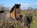 Nosey Horse - geograph.org.uk - 375349.jpg