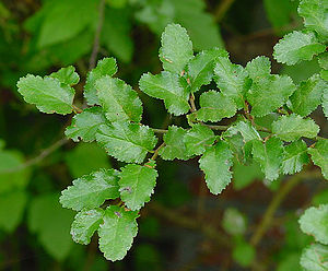 Antarctic flora - Nothofagus antarctica, Chile and Argentina