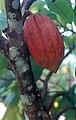 Nuez del cacao 18 cm.jpg