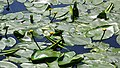 Nuphar lutea on Craigend Loch, Milngavie, Glasgow.jpg