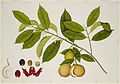 Nutmeg Tree - 40 drawings of plants at Bencoolen, Sumatra (c.1824) - BL NHD 48-23.jpg