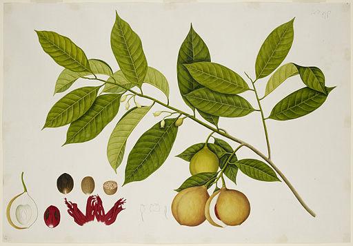 Nutmeg Tree - 40 drawings of plants at Bencoolen, Sumatra (c.1824) - BL NHD 48-23