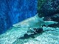 Nyíregyháza Zoo, Carcharhinus plumbeus (1).jpg