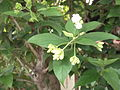 Nyctanthes arbor-tristis-3-nagalur-yercaud-salem-India.JPG