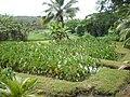 Oahu-Kailua-Ulupoheiau-lo'i.JPG