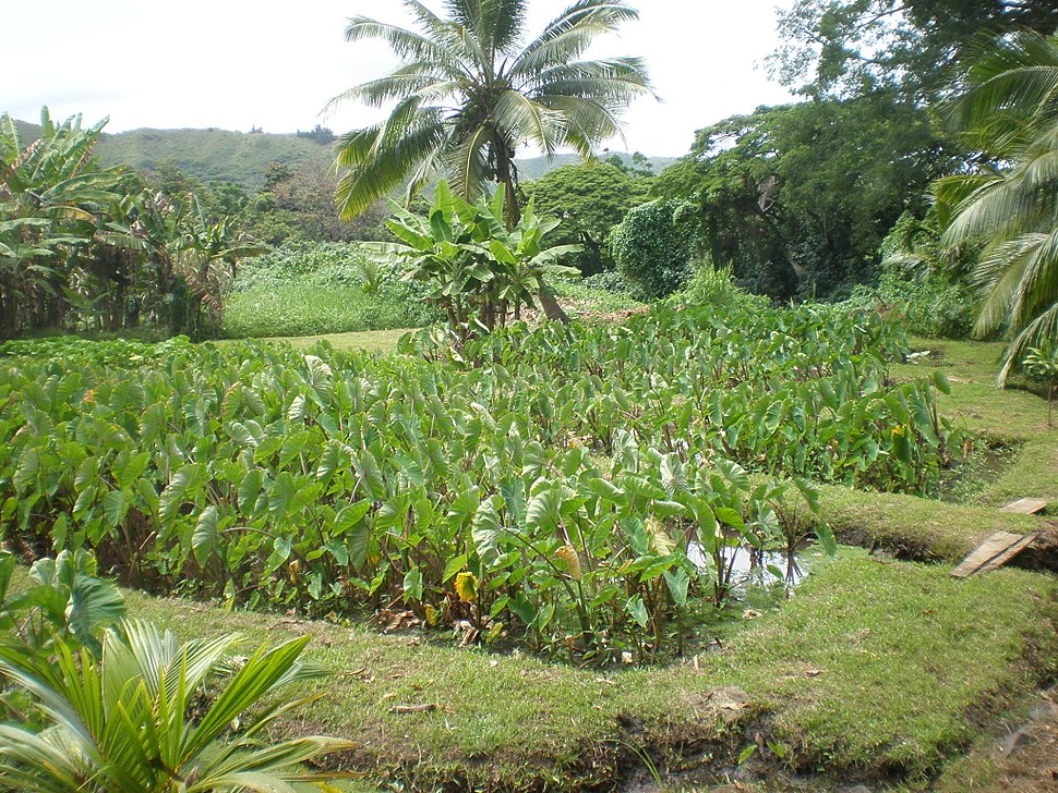 Oahu-Kailua-Ulupoheiau-lo'i