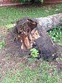 Oak Trees and Lightning Don't Mix..jpg