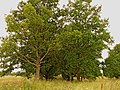 Oak alley to nowhere (only to memories about Kalna Magones) - panoramio.jpg