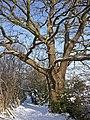 Oak tree, Trent Park, Enfield - geograph.org.uk - 1149478.jpg