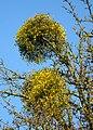 Oberlimberg Obstbaum Wipfel.JPG