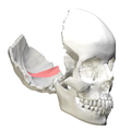 Occipital bone - Groove for transverse sinus.png