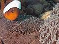 Ocellaris clownfish (Amphiprion ocellaris) (14424465463).jpg