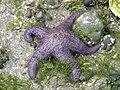 Ochre sea star.jpg
