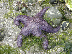 Pisaster ochraceus, Ganges Harbour (British Columbia)
