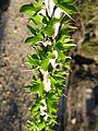 Ocotillo (Fouquieria splendens); Lost Palms Trail - 12526185244.jpg