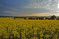 Oilseed Rape field early morning by Ackling Dyke - geograph.org.uk - 416415.jpg