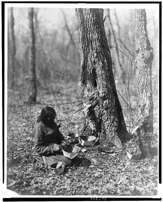 Canadian cuisine - A 1908 photo of an Ojibwe woman tapping for tree sap, which is made into maple syrup.