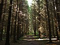 Old Picea Apies - panoramio.jpg
