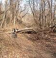 Old Put fallen tree jeh.JPG