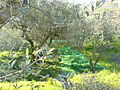Olive trees in Italy.jpg