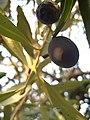 Olives (4093624740).jpg